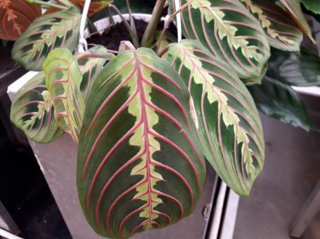Nieuwe trend planten zoals Maranta